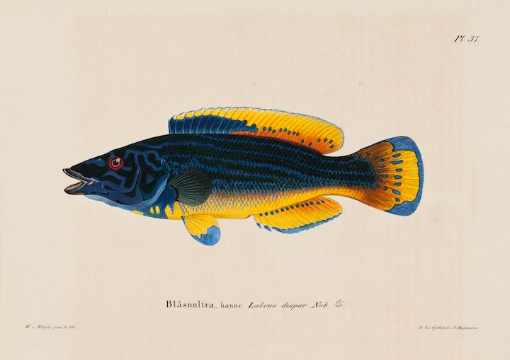 Wilhelm von Wright: Cuckoo-Wrasse, Male (1836–1857). Finnish National Gallery / Ateneum Art Museum. Photo: Finnish National Gallery/Ainur Nasretdin.